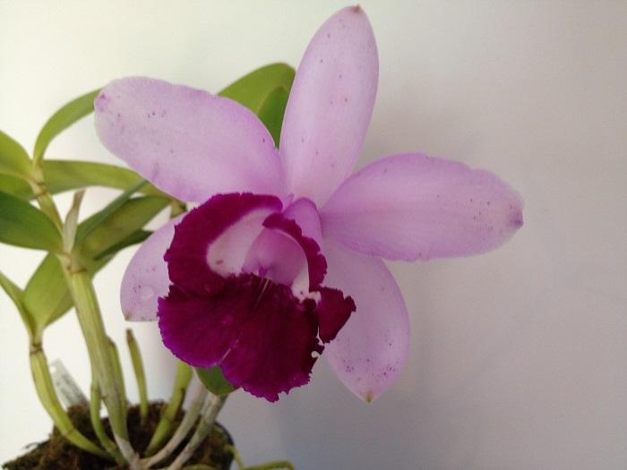 Name:  C. intermedia var Orlata 700x525.jpg Views: 648 Size:  87.2 KB