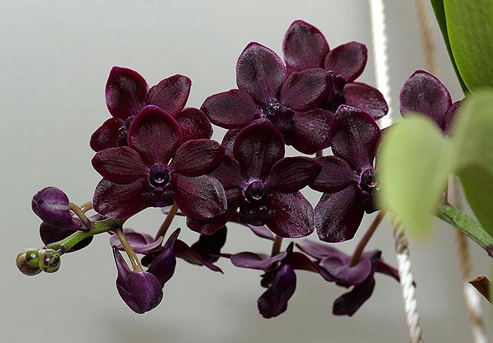 Name:  Rhynchonopsis-Selina-Kuok.jpg Views: 134 Size:  80.5 KB