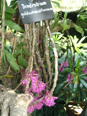 Name:  Dendrobium Goldschmidtianum1 (Small).jpg Views: 3755 Size:  49.1 KB