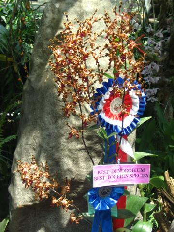 Name:  Dendrobium Lasianthera1 (Small).jpg Views: 3586 Size:  54.8 KB