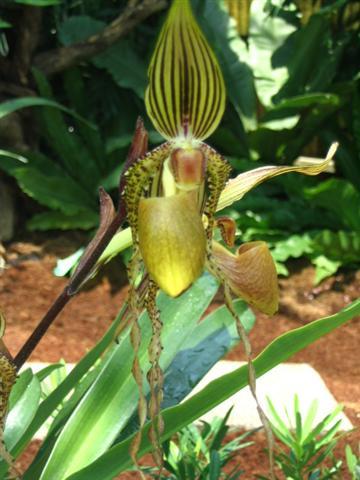Name:  Paphiopedilum Sanderianum (Small).jpg Views: 3100 Size:  41.0 KB
