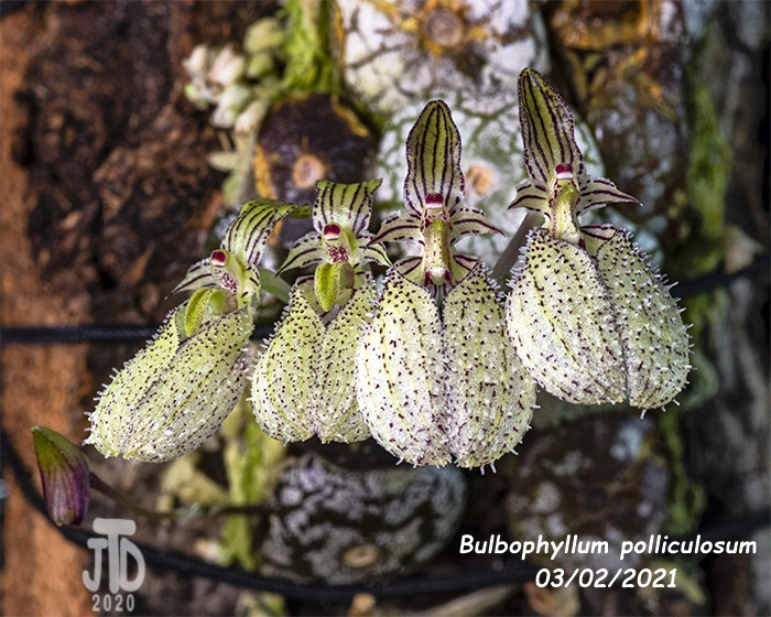 Name:  Bulbophyllum polliculosum5 03022021.jpg Views: 58 Size:  198.5 KB