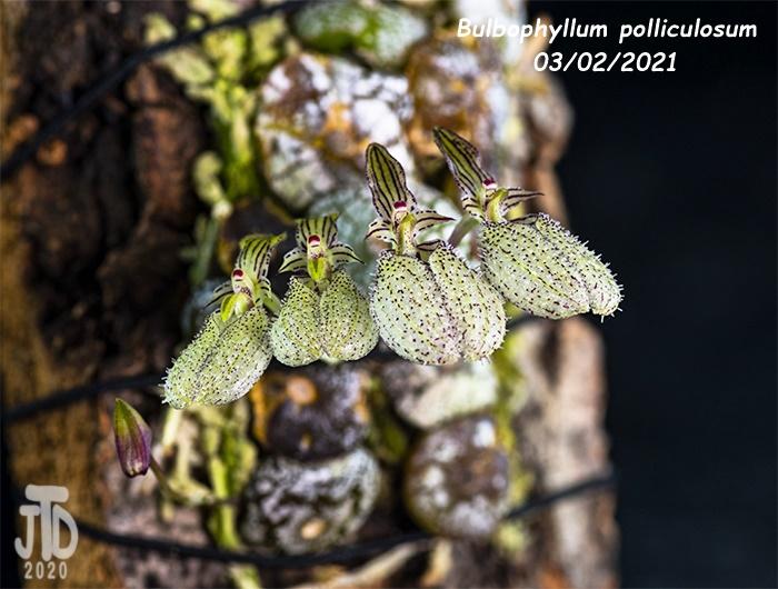 Name:  Bulbophyllum polliculosum3 03022021.jpg Views: 58 Size:  144.2 KB