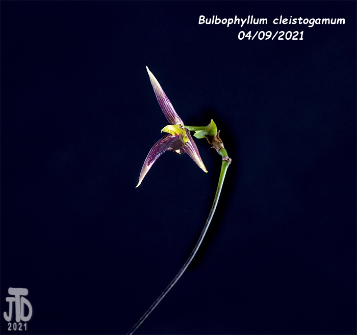 Name:  Bulbophyllum cleistogamum2 04092021.jpg Views: 54 Size:  114.0 KB