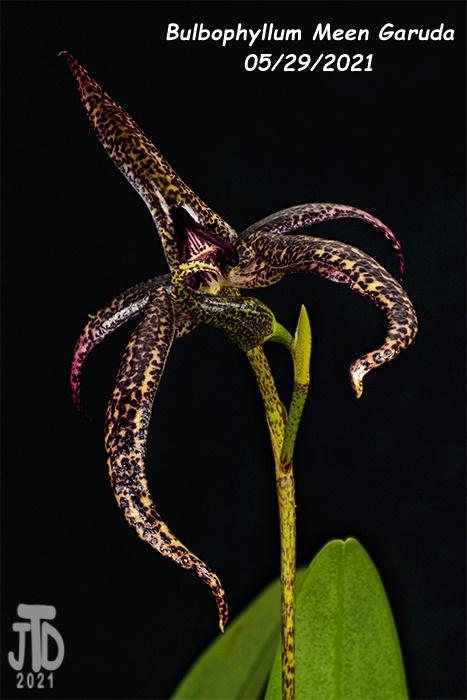Name:  Bulbophyllum Meen Garuda1 05292021.jpg Views: 30 Size:  132.4 KB