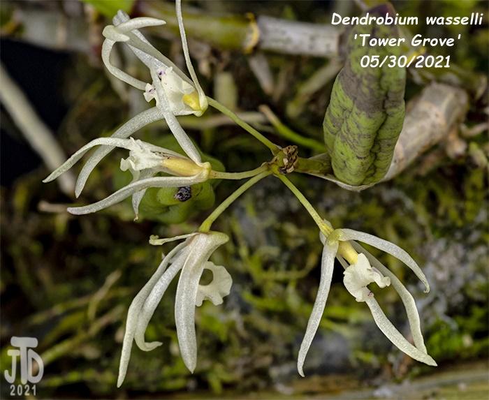 Name:  Dendrobium wassellii 'Tower Grove'3 05302021.jpg Views: 41 Size:  159.9 KB