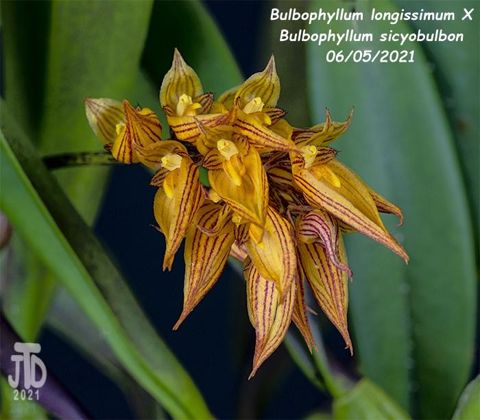 Name:  Bulbophyllum longissimum X Bulb. sicyobulbon2 06052021.jpg Views: 30 Size:  171.4 KB