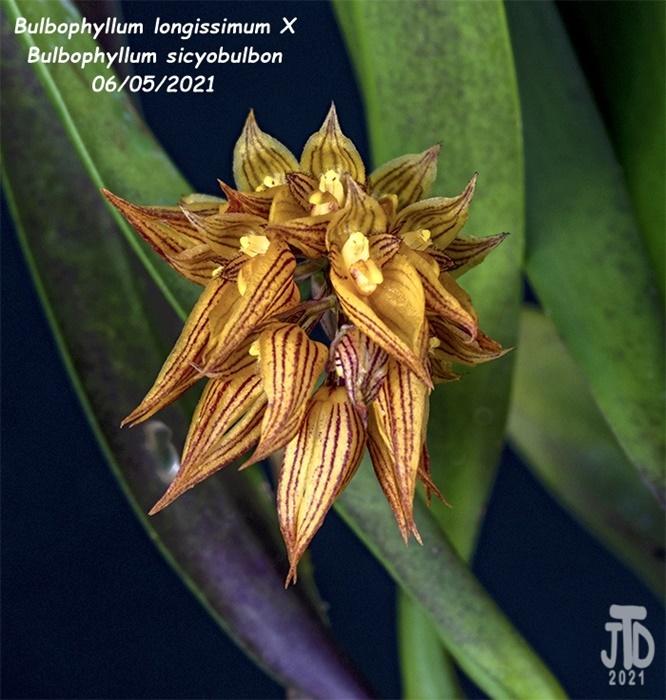 Name:  Bulbophyllum longissimum X Bulb. sicyobulbon3 06052021.jpg Views: 31 Size:  191.4 KB