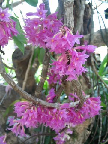 Name:  Dendrobium Goldschmidtianum3 (Small).jpg