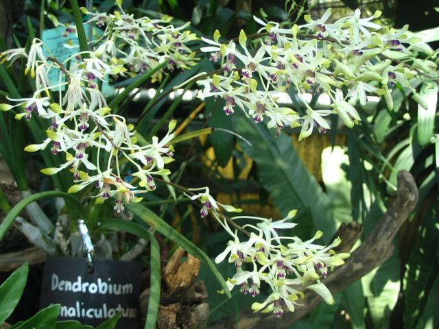 Name:  Dendrobium Canacaliculatum (Small).jpg Views: 3497 Size:  78.1 KB