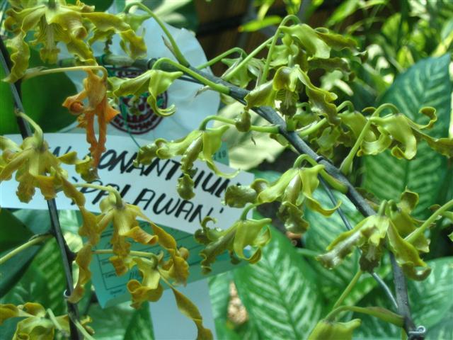 Name:  Dendrobium Conanthum1 (Palawan) (Small).jpg Views: 3494 Size:  68.9 KB