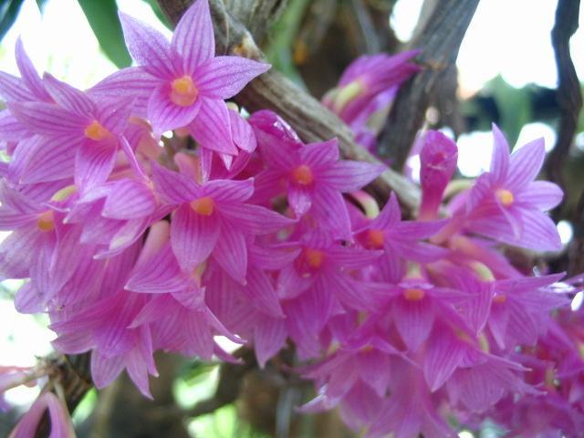 Name:  Dendrobium Goldschmidtianum4 (Small).jpg Views: 3157 Size:  50.7 KB