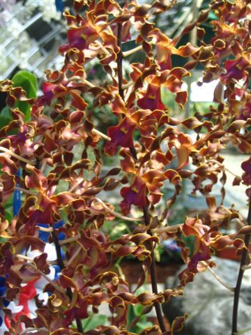 Name:  Dendrobium Lasianthera2 (Small).jpg Views: 3166 Size:  57.2 KB