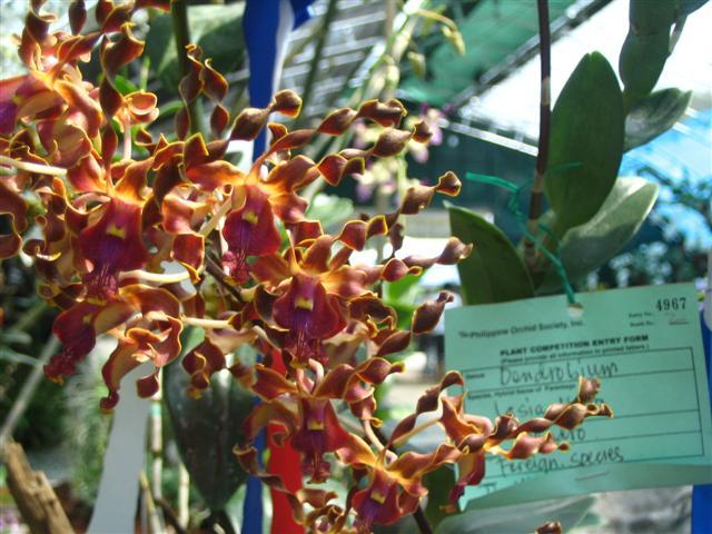 Name:  Dendrobium Lasianthera3 (Small).jpg Views: 3448 Size:  69.5 KB