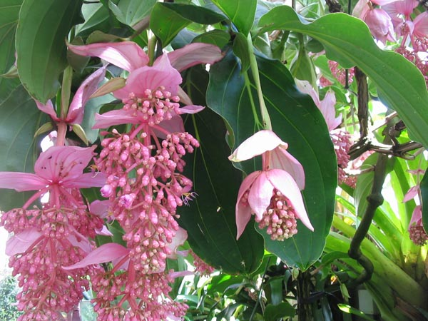 Name:  Medinilla_magnifica_flor.jpg