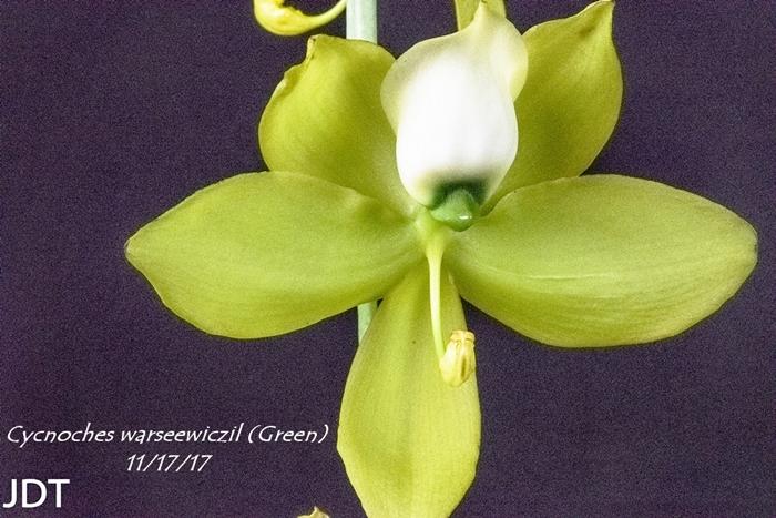 Name:  Cycnoches warseewiczil (Green) 100mm 111617.jpg Views: 144 Size:  303.6 KB
