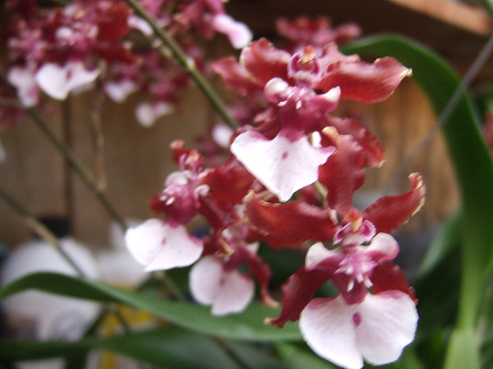 Name:  Oncidiums On The March 016.JPG