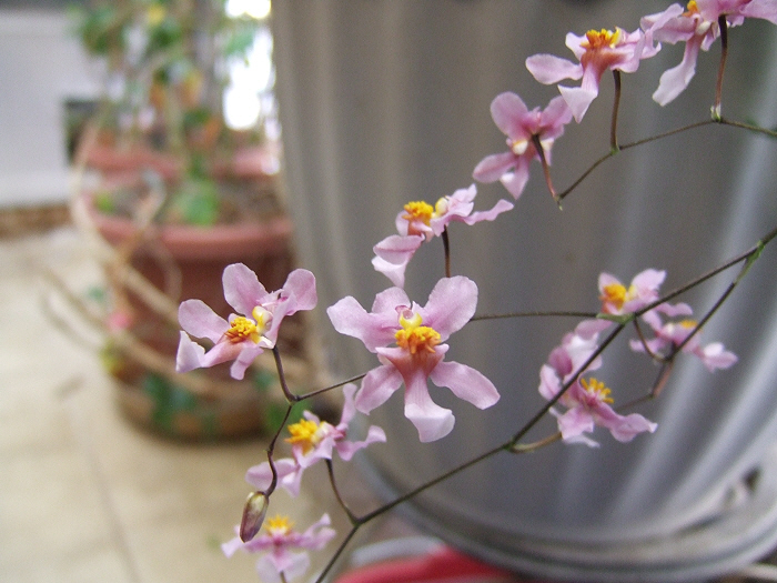 Name:  Oncidiums On The March 020.JPG