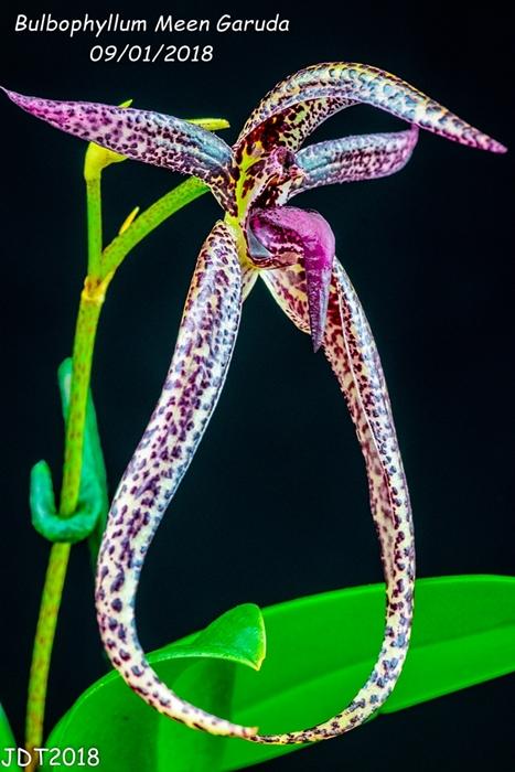 Name:  Bulbophyllum Meen Garuda1 100mm 09-01-2018.jpg Views: 191 Size:  274.3 KB