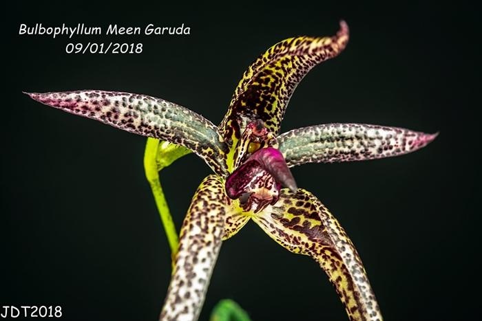 Name:  Bulbophyllum Meen Garuda2 100mm 09-01-2018.jpg Views: 154 Size:  215.9 KB