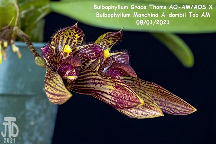 Name:  Bulbophyllum Grace Thoms AO-AMAOS X B. Manchind A-doribil Too AM1 07292021.jpg Views: 42 Size:  138.1 KB