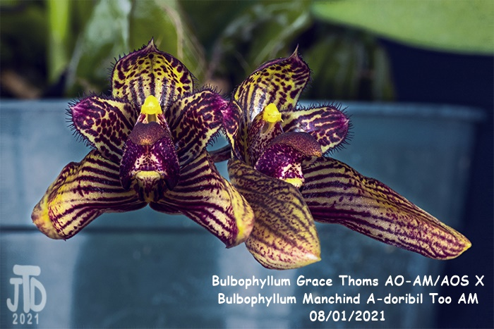 Name:  Bulbophyllum Grace Thoms AO-AMAOS X B. Manchind A-doribil Too AM5 07292021.jpg Views: 37 Size:  145.6 KB