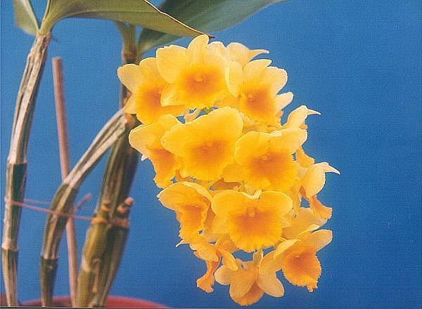 Name:  Dendrobium-densiflorum.jpg Views: 9531 Size:  54.8 KB