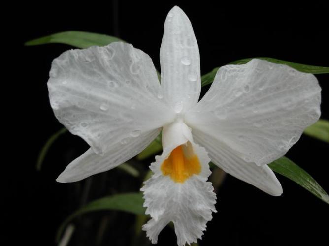 Name:  Dendrobium_infundibulum.jpg Views: 11266 Size:  25.0 KB