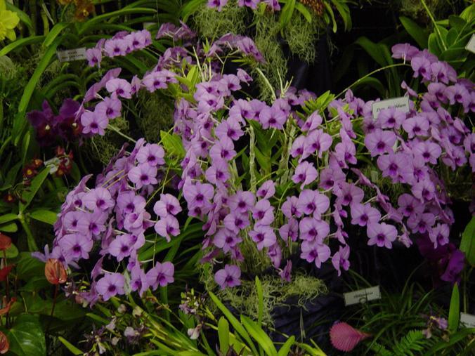 Name:  denbiggibumphalaenopsis.jpg Views: 9073 Size:  76.7 KB