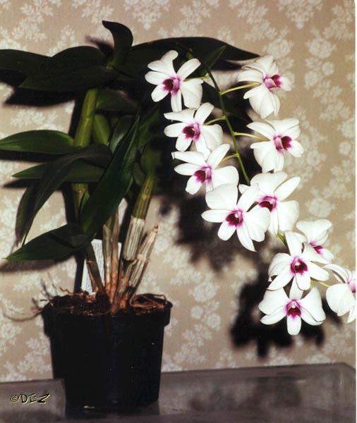 Name:  dendrobium_phalaenopsis.jpg Views: 27771 Size:  44.5 KB
