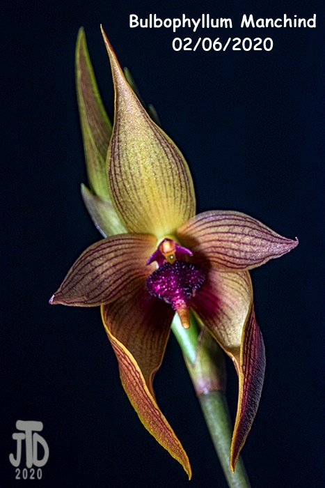 Name:  Bulbophyllum Manchind1 02062020.jpg Views: 57 Size:  141.7 KB