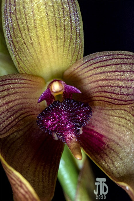 Name:  Bulbophyllum Manchind4 02062020.jpg Views: 58 Size:  167.8 KB