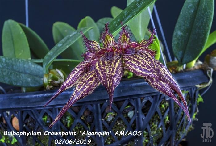 Name:  Bulbophyllum Crownpoint 'Algonquin' AM-AOS3 02052019.jpg Views: 121 Size:  294.6 KB