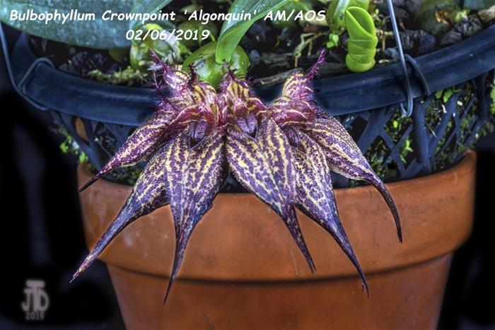 Name:  Bulbophyllum Crownpoint 'Algonquin' AM-AOS4 02052019.jpg Views: 115 Size:  269.5 KB