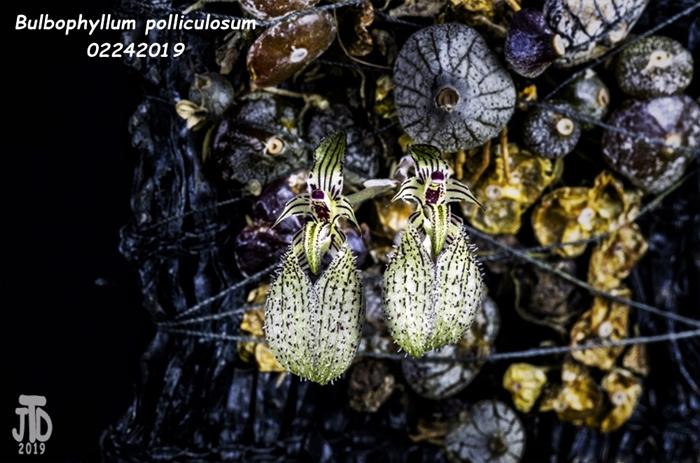 Name:  Bulbophyllum polliculosum2 02242019.jpg Views: 192 Size:  264.9 KB
