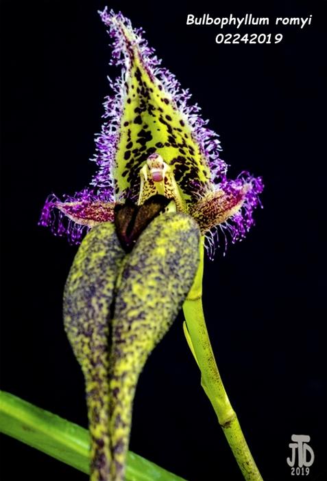 Name:  Bulbophyllum romyi2 02242019.jpg Views: 89 Size:  196.2 KB