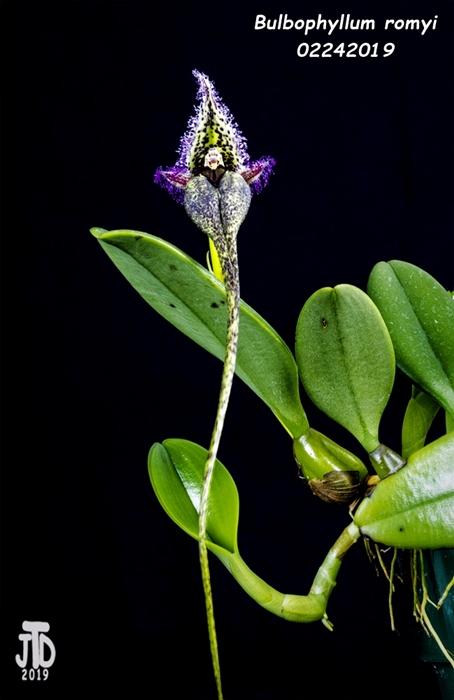 Name:  Bulbophyllum romyi1 02242019.jpg Views: 99 Size:  166.0 KB
