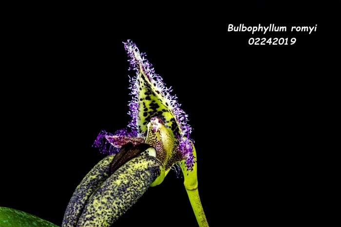 Name:  Bulbophyllum romyi3 02242019.jpg Views: 74 Size:  114.4 KB