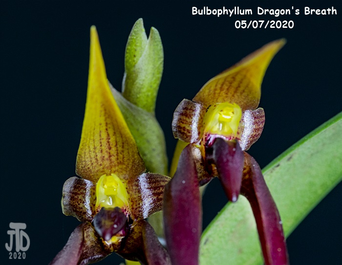 Name:  Bulbophyllum Dragon's Breath2 05082020.jpg Views: 79 Size:  122.6 KB