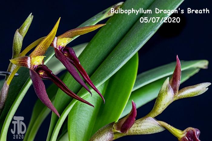 Name:  Bulbophyllum Dragon's Breath5 05082020.jpg Views: 82 Size:  181.7 KB