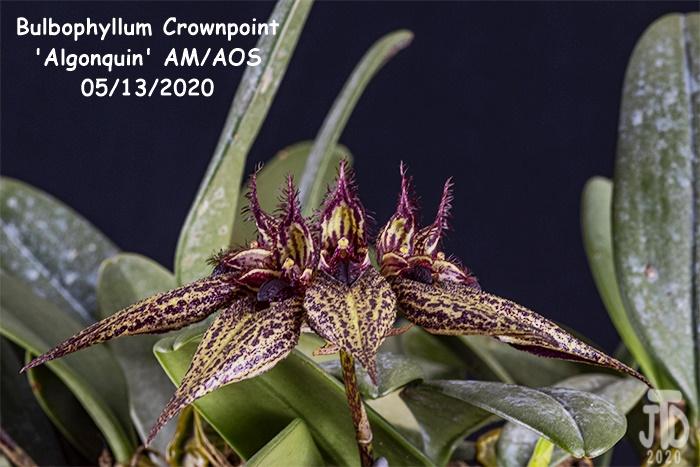 Name:  Bulbophyllum Crownpoint 'Algonquin' AM-AOS4 05132020.jpg Views: 53 Size:  147.3 KB