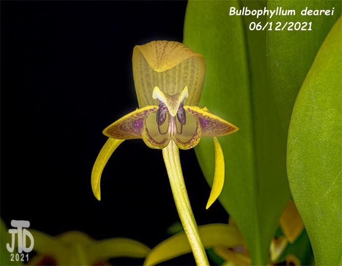 Name:  Bulbophyllum dearei3 06122021.jpg Views: 57 Size:  112.4 KB