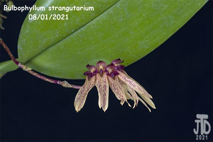 Name:  Bulbophyllum strangutarium4 08012021.jpg Views: 45 Size:  121.6 KB