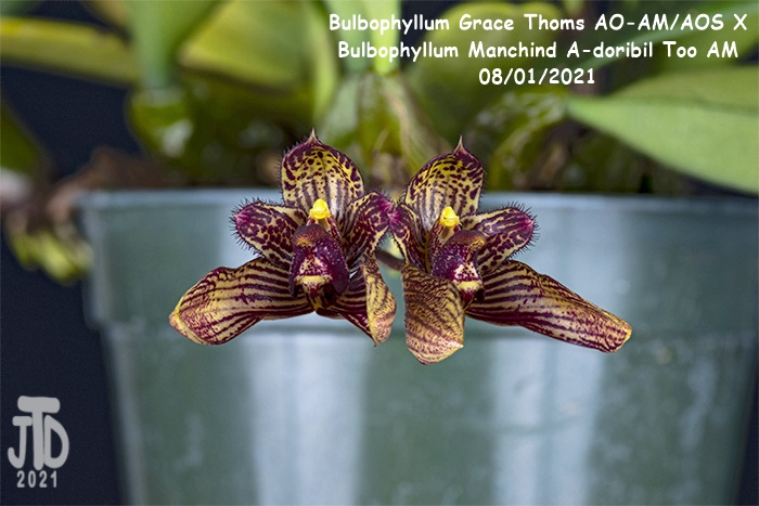 Name:  Bulbophyllum Grace Thoms AO-AMAOS X B. Manchind A-doribil Too AM3 07292021.jpg Views: 40 Size:  121.2 KB