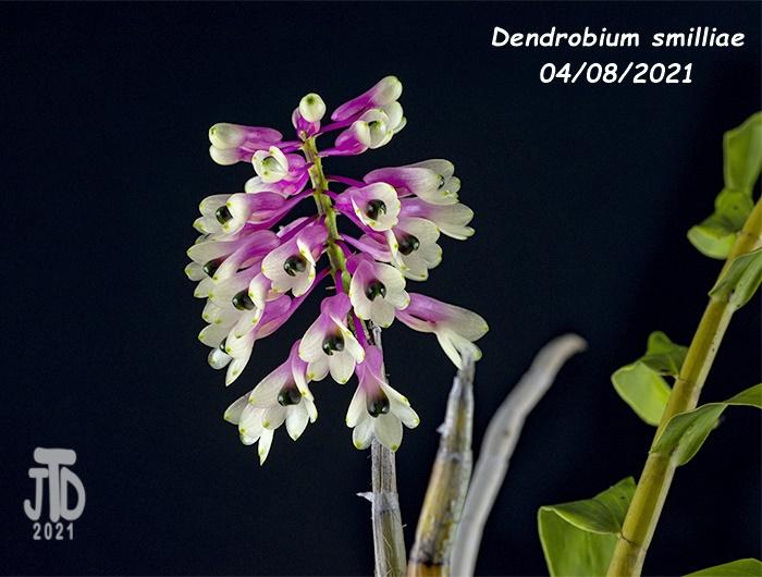 Name:  Dendrobium smilliae2 04082021.jpg Views: 71 Size:  165.3 KB