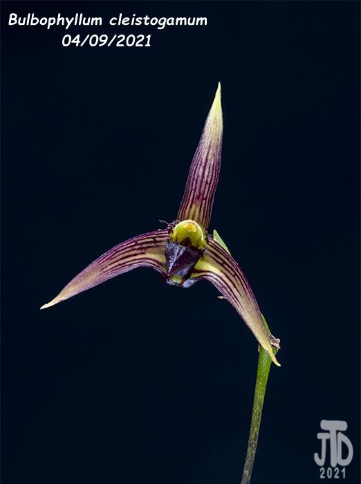 Name:  Bulbophyllum cleistogamum1 04092021.jpg Views: 54 Size:  76.6 KB