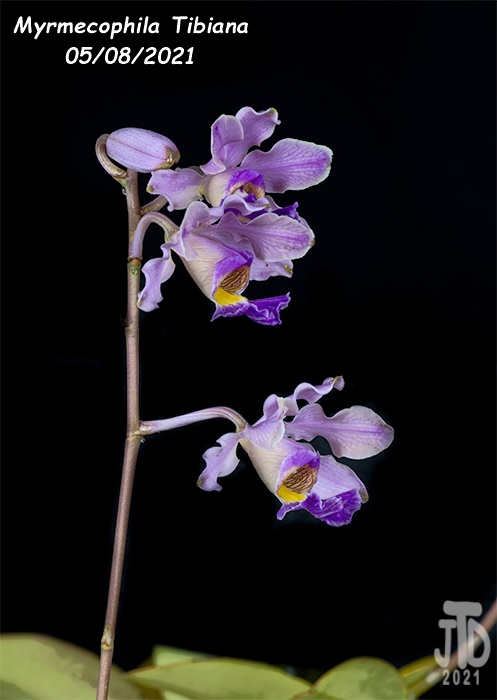 Name:  Myrmechophila Tibiana4 05072021.jpg Views: 53 Size:  75.0 KB