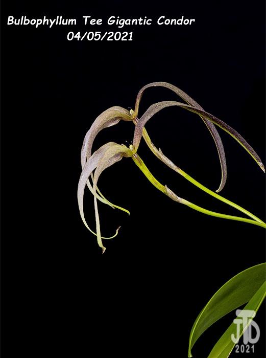 Name:  Bulbophyllum Tee Gigantic Condor4 04052021.jpg Views: 26 Size:  81.3 KB
