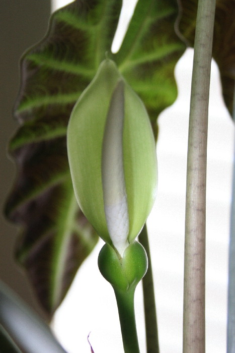 Name:  Alocasia Poly bloom.JPG