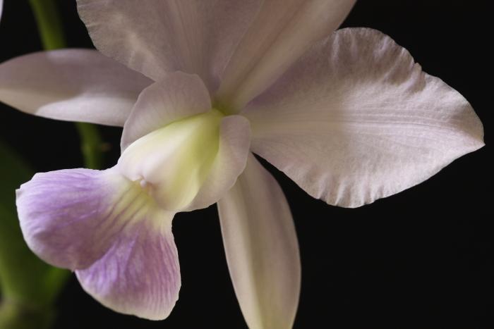 Name:  Cattleya walkeriana coerulea1.jpg Views: 209 Size:  217.6 KB